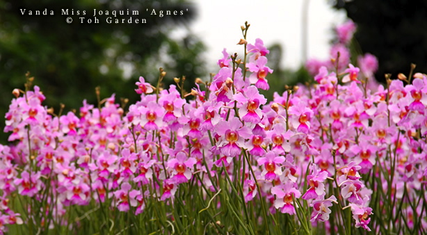 Finally, Toh Garden Produces Quality Hybrids That Are Available For  Organizations To Name, For Example: Dendrobium Shangri La, Named After The  Shangri La ...