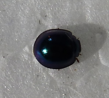 Metallic Blue Lady Beetle