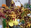 Oncidium (Onc.)