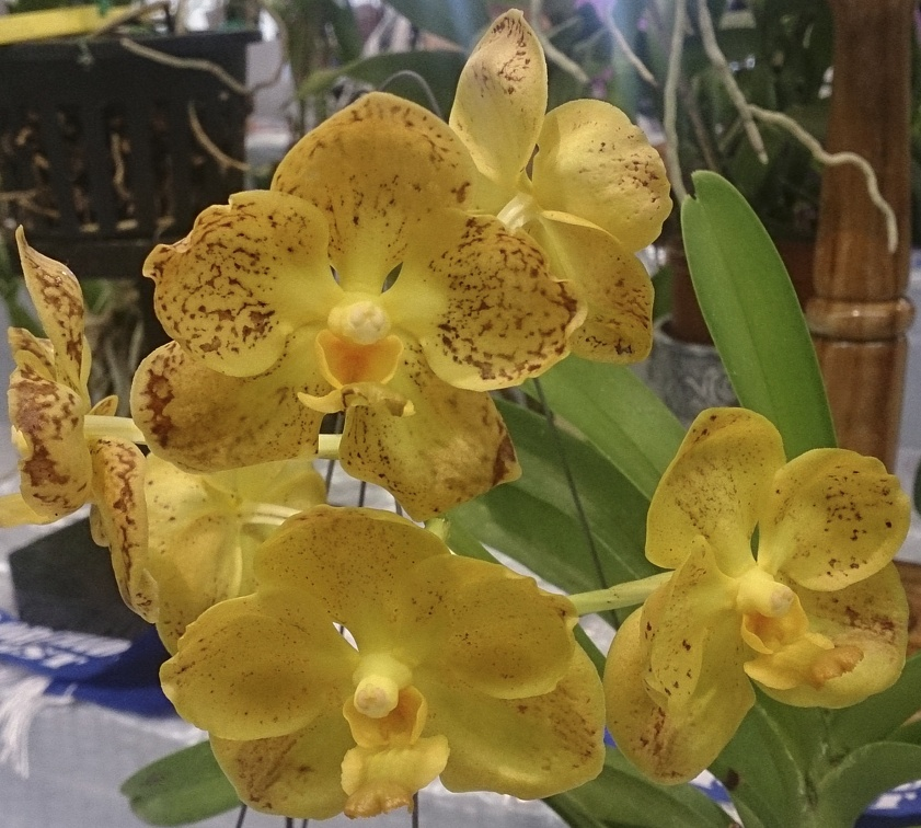 Ascda Golden Harvest Moon