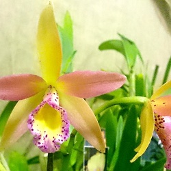 Bc. Yellow Bird x Ctt. Susan Holcombe