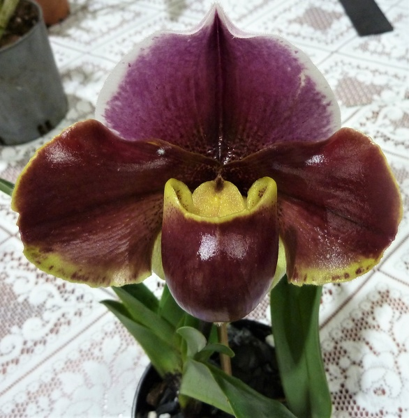 Paph. Bournhill  x Paph. Landing Party.JPG