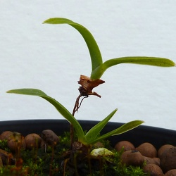 Phragmipedium (Phrag.)
