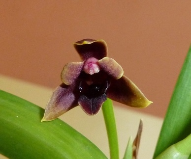 "variabilis ""Chocolate"""