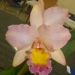 C. Horace x (Rth. Niña de Primavera x Rth. Orange Nuggett)