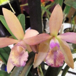 Bc. Yellow Bird x C. Ollies' Folly